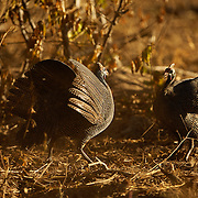 Helmeted Guineafowl Numida meleagris displaying before fight
