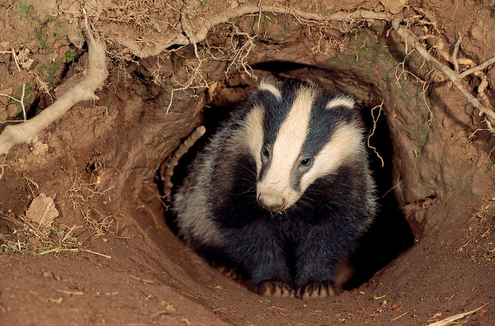 Badger Meles meles Length 65-80cm Distinctive nocturnal mammal. Daytime spent in tunnel complex (a sett). Omnivorous and opportunistic feeders. Facial markings are unmistakable and iconic. Adult has coarse fur, greyish on back and flanks, and blackish on underside and legs. Head is elongated into a snout marked with longitudinal black and white stripes. Legs are short, and blunt tail has a white tip. Mostly silent. Locally common where farmland, meadows and woods occur side by side; also occurs on fringes of suburbia.
