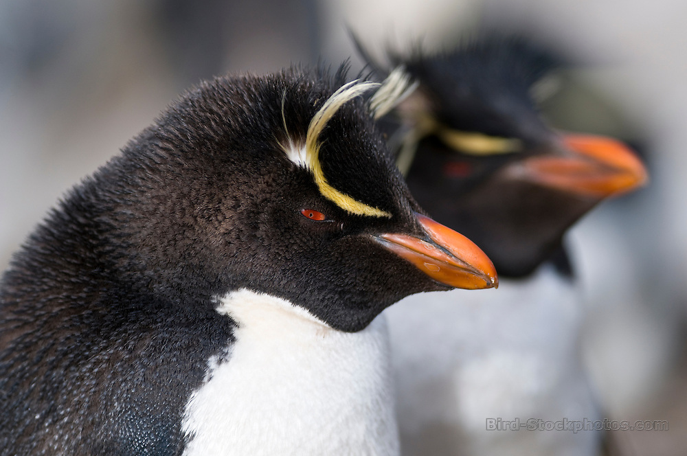 Southern Rockhopper Penguin, Eudyptes chrysocome, side view, Falkland Islands, Antarctica, by Rich Lindie
