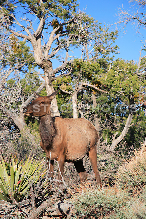 Female Elk at Grand Canyon National Park Arizona
