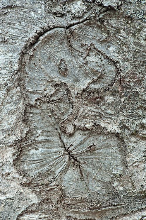 Common beech (Fagus sylvatica) bark detail, Basilicata/Calabria, Pollino National Park, Italy. November 2008. Mission: Pollino National Park