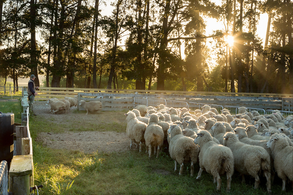 Sheep run through a gate in some yards as a farmer counts them.