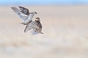 Sharp-tailed Grouse, Tympanuchus phasianellus, Greater Prairie-chicken, Tympanuchus cupido, males, fighting, South Dakota