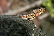 Alberto Carrera, Galápagos Lava Lizard, Albemarle Lava Lizard, Microlophus albemarlensis, Galápagos National Park, UNESCO, World Heritage Site, Biosphere Reserve, Galápagos Islands, Ecuador, South America