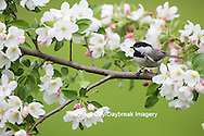 01299-03415 Carolina Chickadee (Poecile carolinensis) in Crabapple tree (Malus sp.) in spring Marion Co. IL