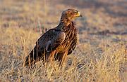 Tawny Eagle, Grumeti, Tanzania