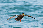 American Black Duck, Anas rubripes, male, Detroit River, Ontario
