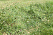grass flatten by tractor tires
