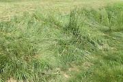 grass flatten by tractor tires