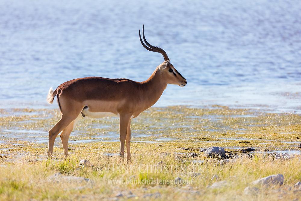 Black-faced Impala are endemic to northwestern Namibia and southwestern Angola, here seen in Ethosha National Park, Namibia.
