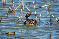 An Eared Grebe feeds in an old and flooded cattail colony in the early spring in northern Utah!