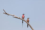 A pair of Southern Carmine Bee Eaters on a branch, Okavango Delta, Botswana