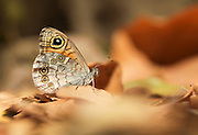 The Lattice Brown (Kirinia roxelana) is a butterfly of the Nymphalidae family. It is found in South-Eastern Europe and the Near East. Photographed in Israel in September