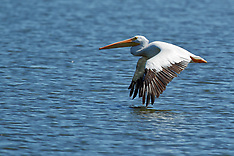 Crane, Stork and Pelican Royalty Free Stock Images