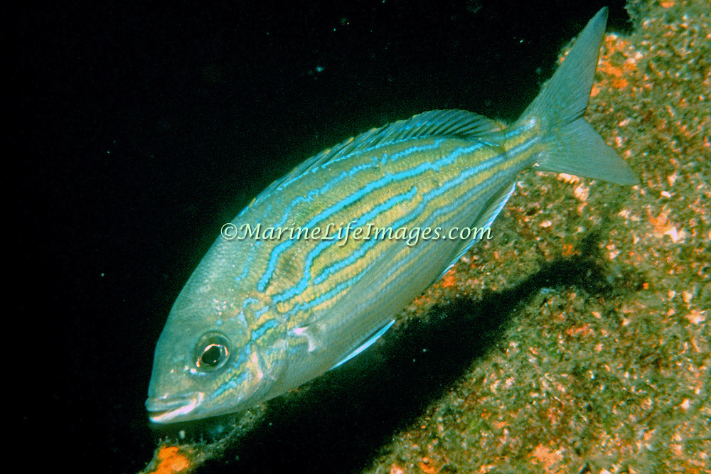 Pinfish inhabit rocky shoals to reefs and sandy areas in Florida to Massachusetts; picture taken Panama City, Panhandle FL.