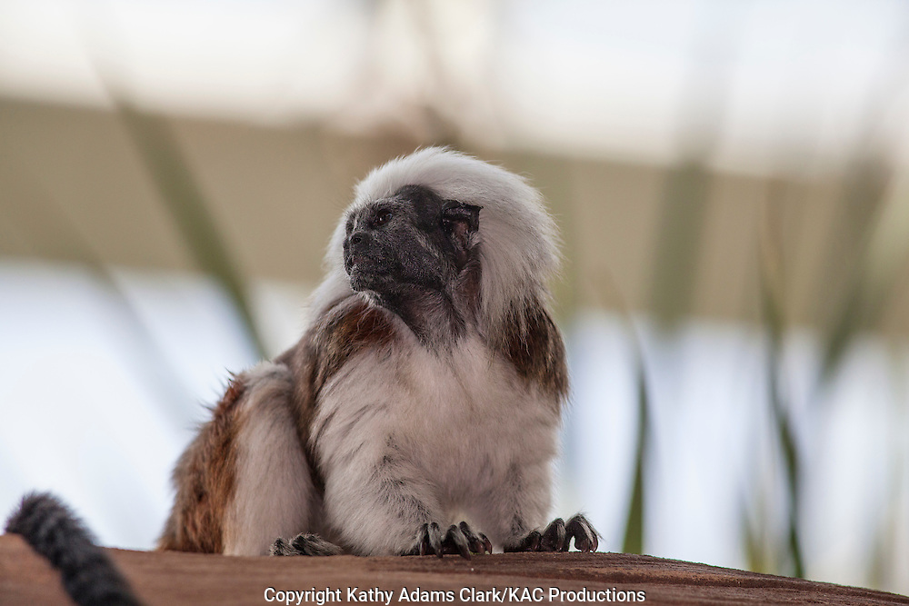 Cotton-headed tamarin, Saguinus oedipus, native to Columbia, South America, but highly endangered, primate. Moody Gardens, Galveston, texas. Also called cotton-top monkey, cottontop monkey.