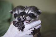 Raccoon <br /> Procyon lotor<br /> Four-week-old orphaned babies in foster home <br /> WildCare, San Rafael, CA