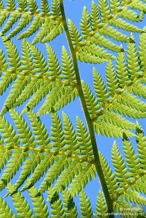 Sunlight on the leaf of Dicksonia antarctica - tree fern. Blue sky