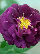 Rosa 'Tuscany Superb' - gallica 1837