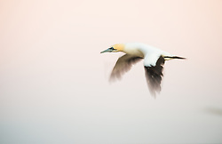 Cape Gannet (Morus capensis) at Bird Island, South Africa