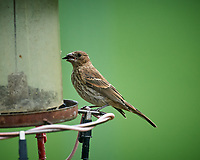 Immature Cowbird. Image taken with a Nikon D5 camera and 600 mm f/4 mm VR lens (ISO 1600, 600 mm, f/5.6, 1/1250 sec)