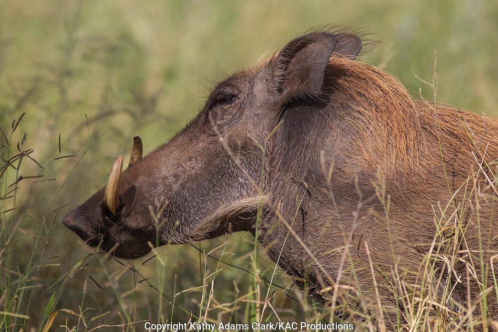 Warthog, Phacochoerus africanus, Tarangire National Park, Manyara Region, Tanzania, Africa.