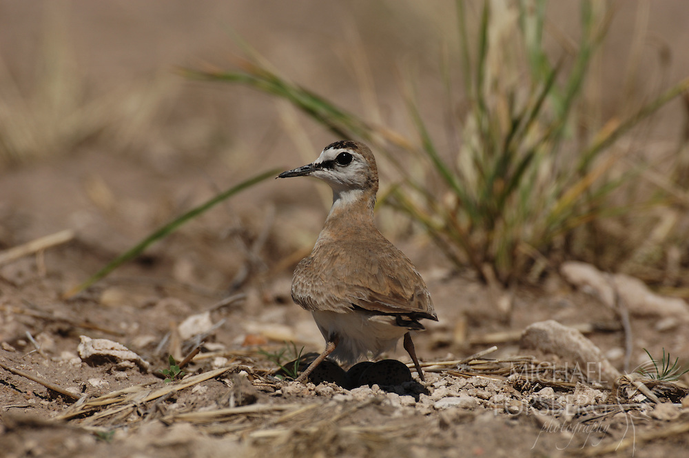 High Plains, Nebraska. Kimball county along the NE/CO border just north of Pawnee National Grassland...Mountain plover shading eggs midday on nest to regulate temperature.(federal endangered species list- IUCN Red List)