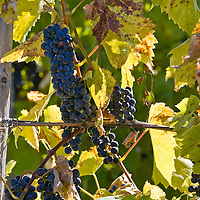 Baco Noir grapes on the vine.