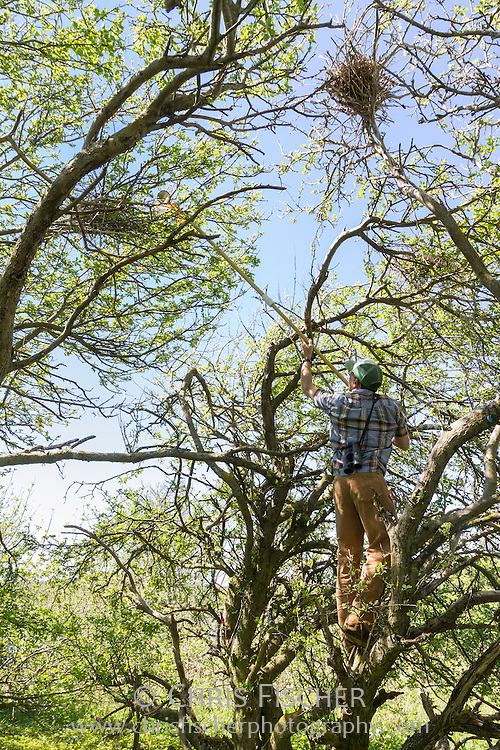 Biologist Robby Lambert counts the number of eggs in a nest using a pole with a mirror attached during the 2013 wading bird census on Stratton Island, Maine.