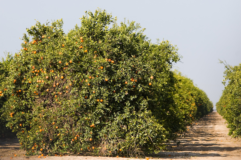 An orange tree is ready to be harvested, ripe with fresh citrus fruit.