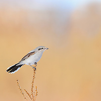 Northern Shrike perched on a branch in Hamilton Ontario Canada.