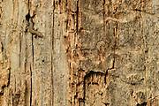 Viviparous lizard (Zootoca vivipara) hunting for insects in holes of oak tree, Niedersechsische Elbtalaue Biosphere Reserve, Elbe Valley, Lower Saxony, Germany | Eine Waldeidechse oder auch Mooreidechse (Zootoca vivipara) jagt auf einem toten Eichenstamm nach Spinnen und Insekten. | Viviparous lizard (Zootoca vivipara)