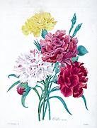 19th-century hand painted Engraving illustration of red white and yellow carnation flowers, by Pierre-Joseph Redoute. Published in Choix Des Plus Belles Fleurs, Paris (1827). by Redouté, Pierre Joseph, 1759-1840.; Chapuis, Jean Baptiste.; Ernest Panckoucke.; Langois, Dr.; Bessin, R.; Victor, fl. ca. 1820-1850.