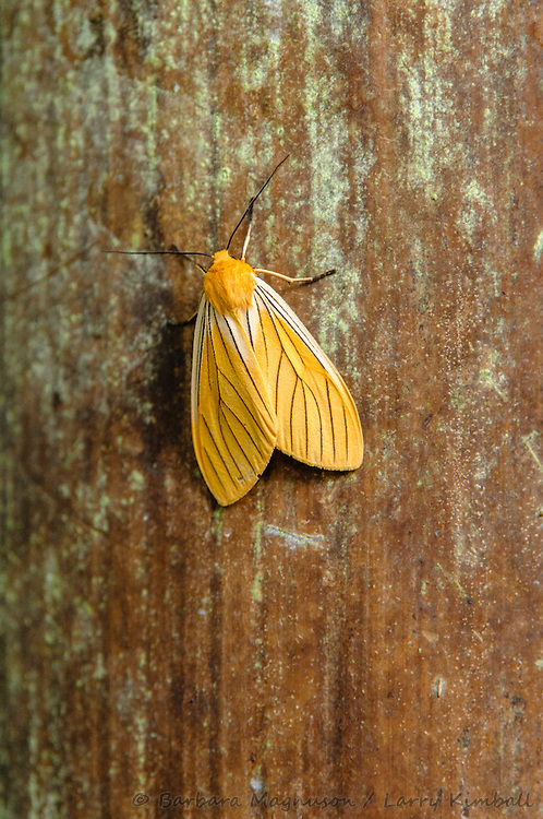 Black-veined Yellow [Pachydota nervosa,  EREBIDAE subfamily - ARCTIINAE] ; Bellavista Cloud Forest Reserve, Ecuador
