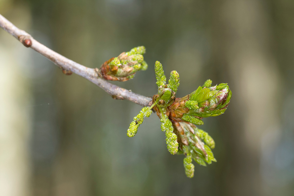 Pedunculate or English Oak - Quercus robur. Spring leaf burst in Stoke Wood, Bicester, Oxfordshire.