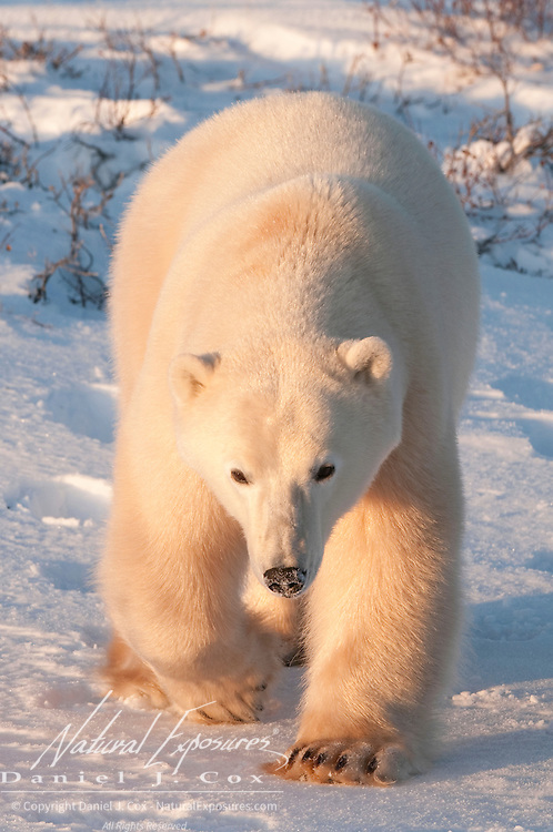A large male polar bear in the late evening light near Cape Churchill. Hudson Bay, Canada