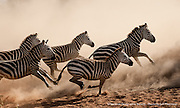 Zebra running from a crocodile attack at a small watering hole in the Serengeti National Park.