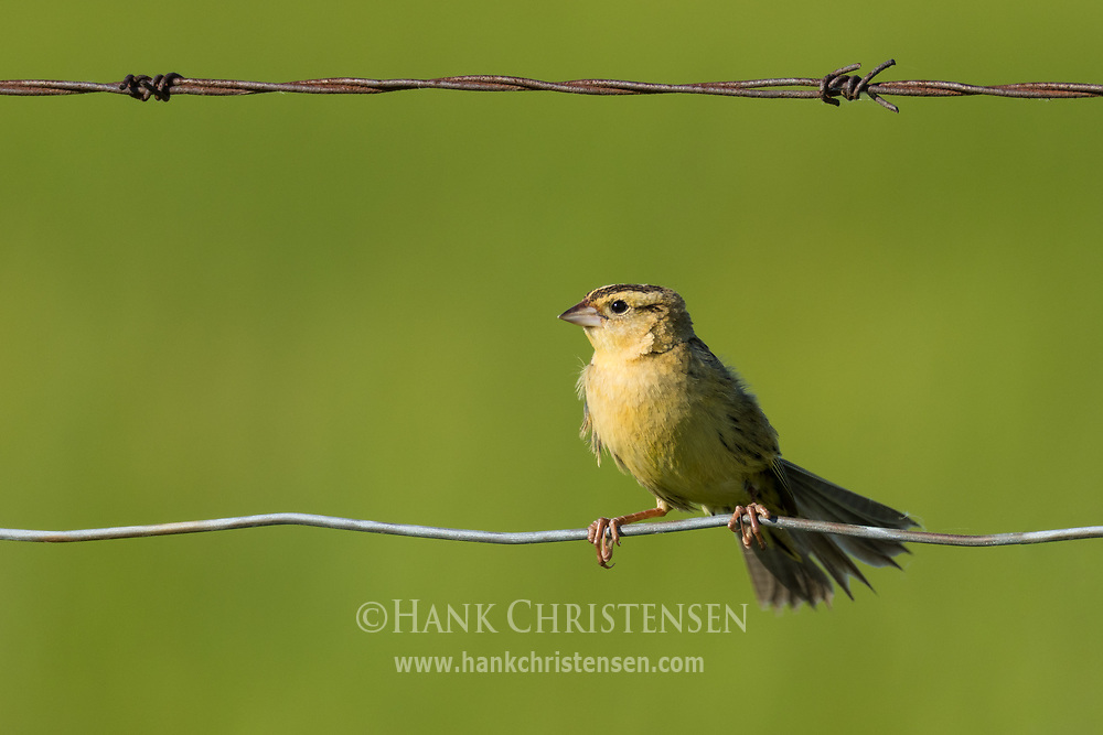 A female bobolink perches on a wire fence, Wolf Island, Ontario, Canada.