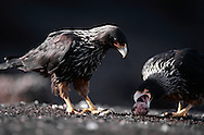 Striated caracara pair, Phalcoboenus australis, cracking a penguin egg, Falkland Islands