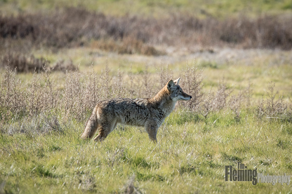 Canis latrans, one of the most adaptable animals in the world. Coyotes can change their breeding habits, diet and social dynamics to survive in a wide variety of habitats. Seen here at Ellis Creek Water Recycling facility in Petaluma, California.