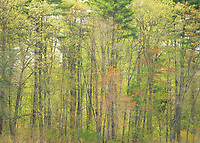 Trees budding with the colors of Spring.  ©2015 Karen Bobotas Photographer