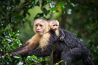 White-headed capuchin monkey (Cebus capucinus) and baby, on the Osa Peninsula of Costa Rica. Wild monkeys freely feeding in the trees in the early morning.
