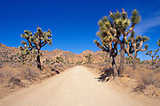 Dirt road and Joshua Trees (Yucca brevifolia) under blue sky, Joshua Tree National Park, California