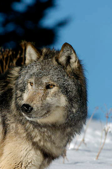 Gray Wolf (Canis lupus) Portrait. Winter. Montana.  Captive Animal.