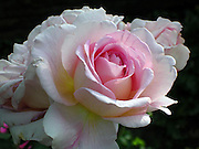 Pink Rose ~ <br /> Beautiful pink rose in full glory.<br /> © Laurel Smith