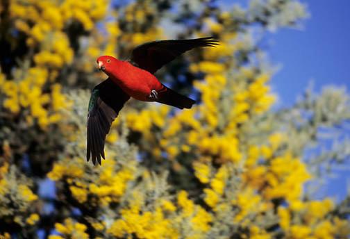 Australian King Parrot (Alisterus scapularis) male in eastern Australia.