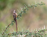 Speckled mousebird (Colius striatus) from Maasai Mara, Kenya.