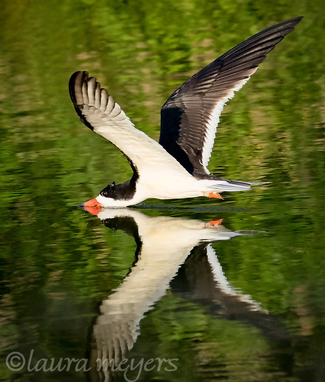 Black Skimmer in the water with full reflection of the entire bird.