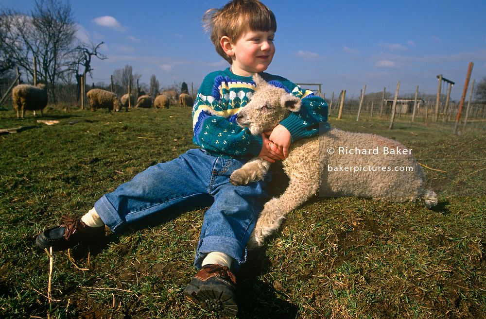 Young boy in a field plays with a lamb at Drusillas Park Zoo.