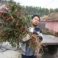 GAOBEIDIAN, 7.NOV. 2014 : Xie Tangjian aus der Provinz Guizhou legt Chilli zum Trocknen aus.